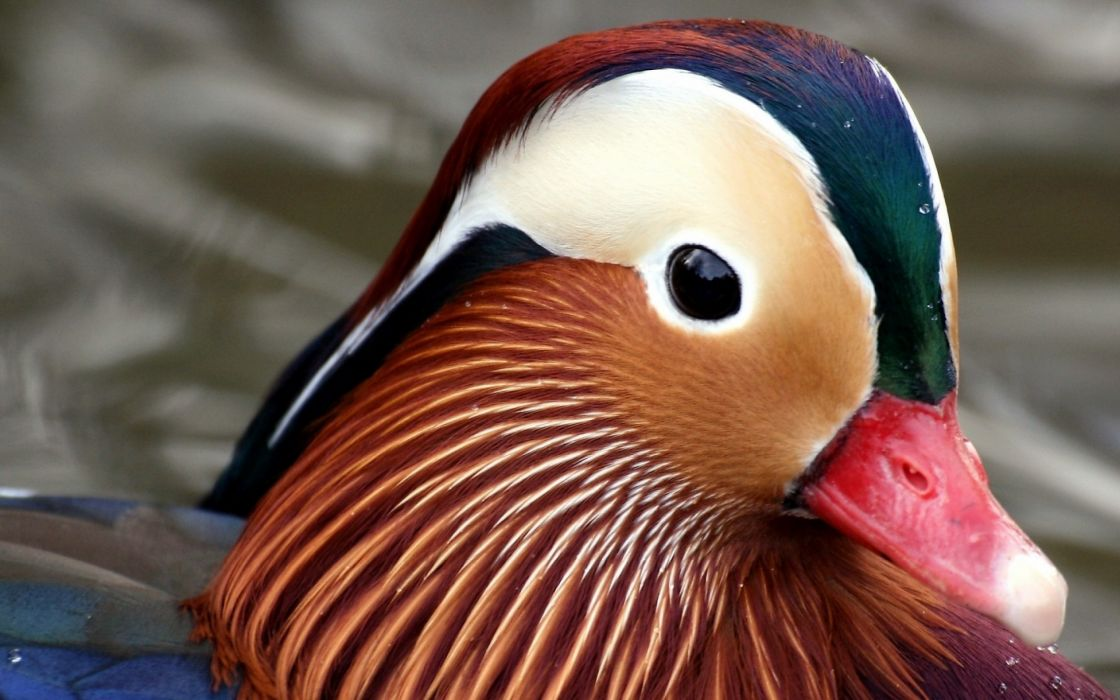 MANDARIN DUCK bird ducks (1) wallpaper