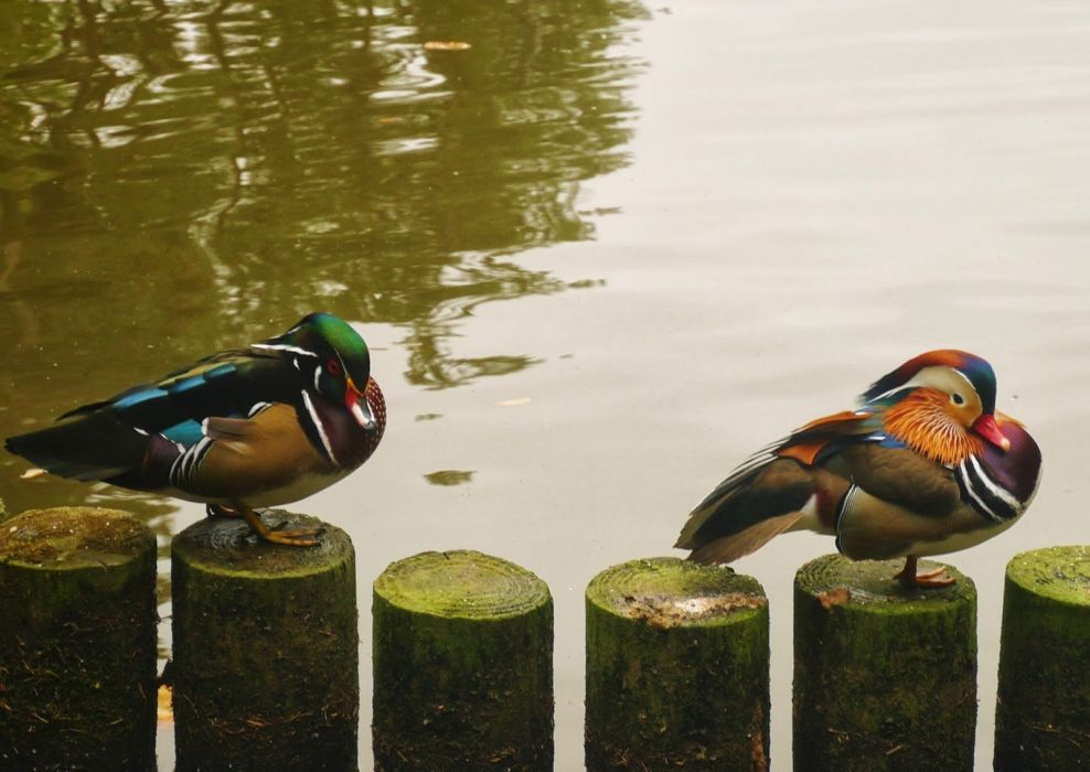 MANDARIN DUCK bird ducks (3) wallpaper