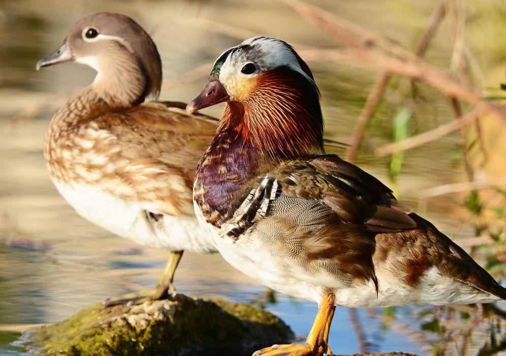 MANDARIN DUCK bird ducks (5) wallpaper
