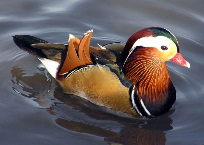 MANDARIN DUCK bird ducks (16) wallpaper