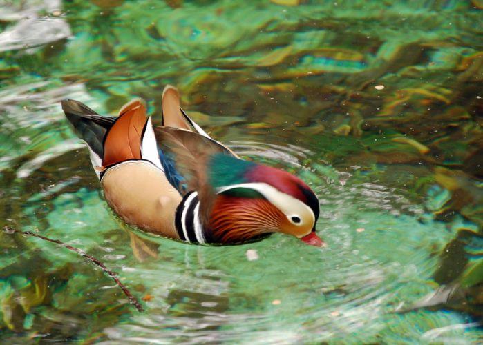 MANDARIN DUCK bird ducks (20) wallpaper