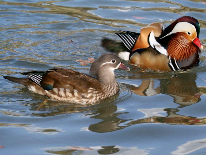 MANDARIN DUCK bird ducks (21) wallpaper