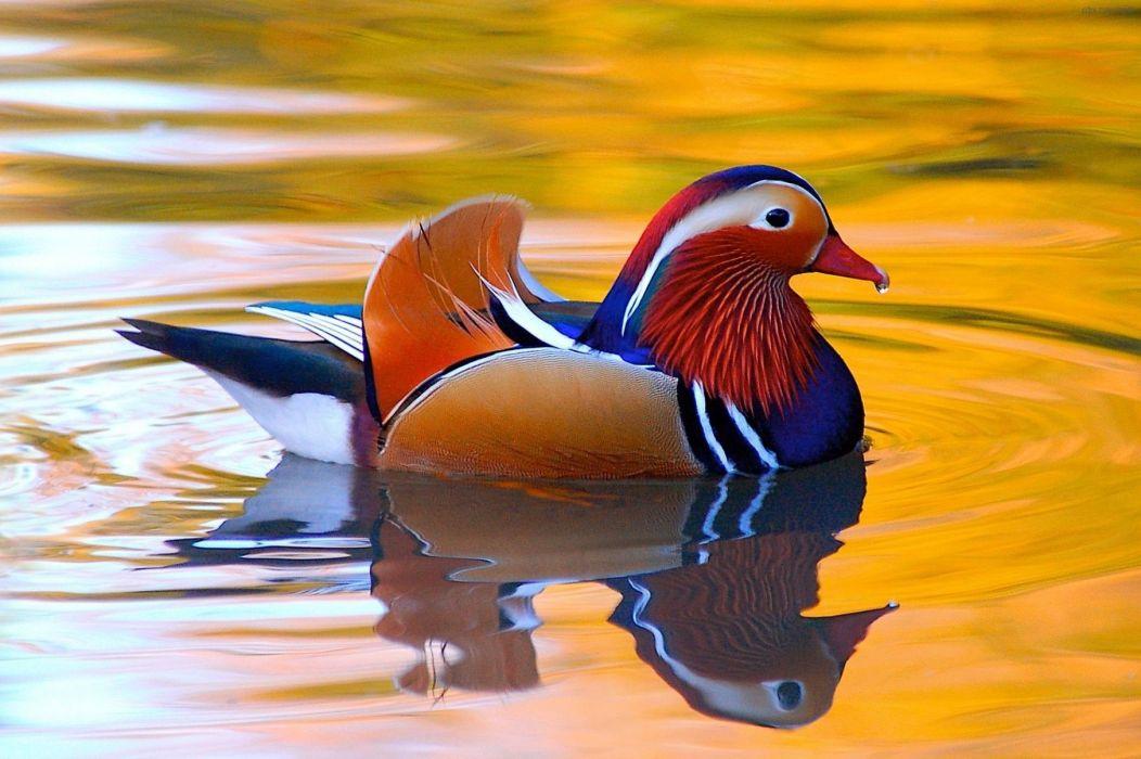 MANDARIN DUCK bird ducks (29) wallpaper