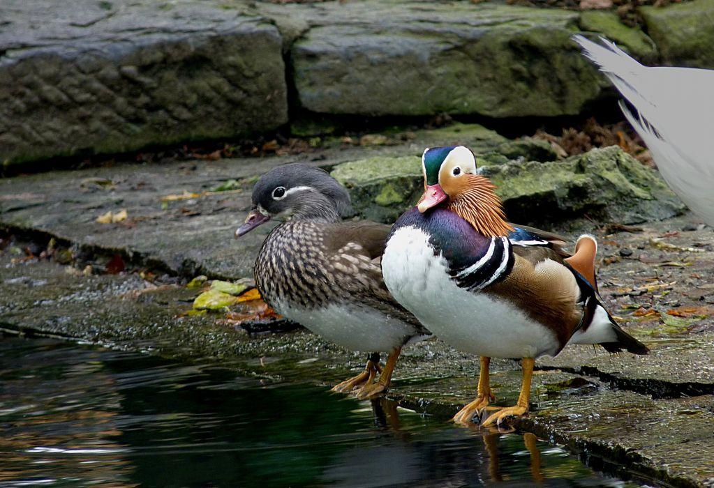 MANDARIN DUCK bird ducks (25) wallpaper