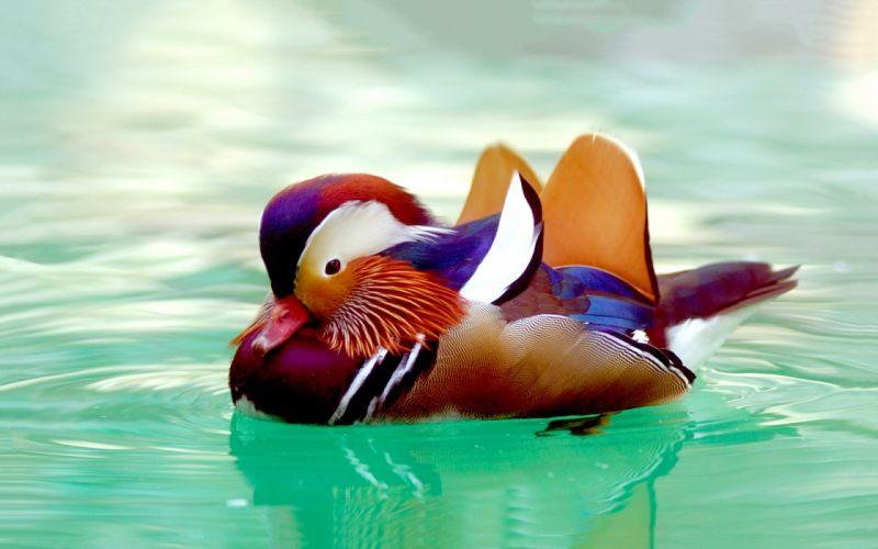 MANDARIN DUCK bird ducks (31) wallpaper