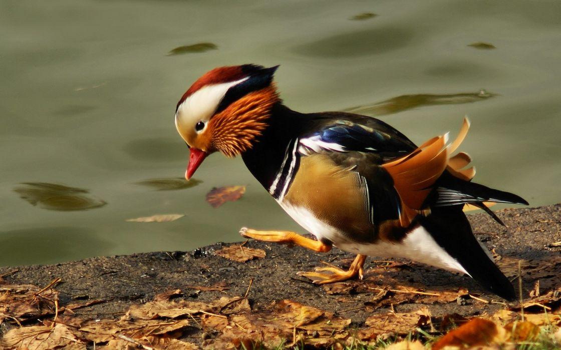 MANDARIN DUCK bird ducks (42) wallpaper
