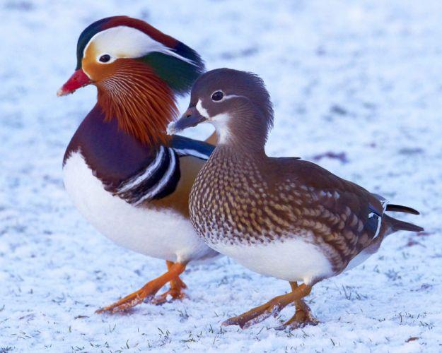 MANDARIN DUCK bird ducks (44) wallpaper
