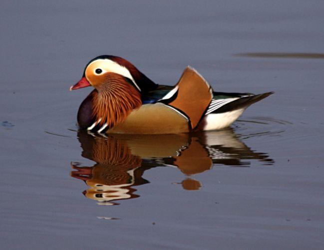 MANDARIN DUCK bird ducks (48) wallpaper