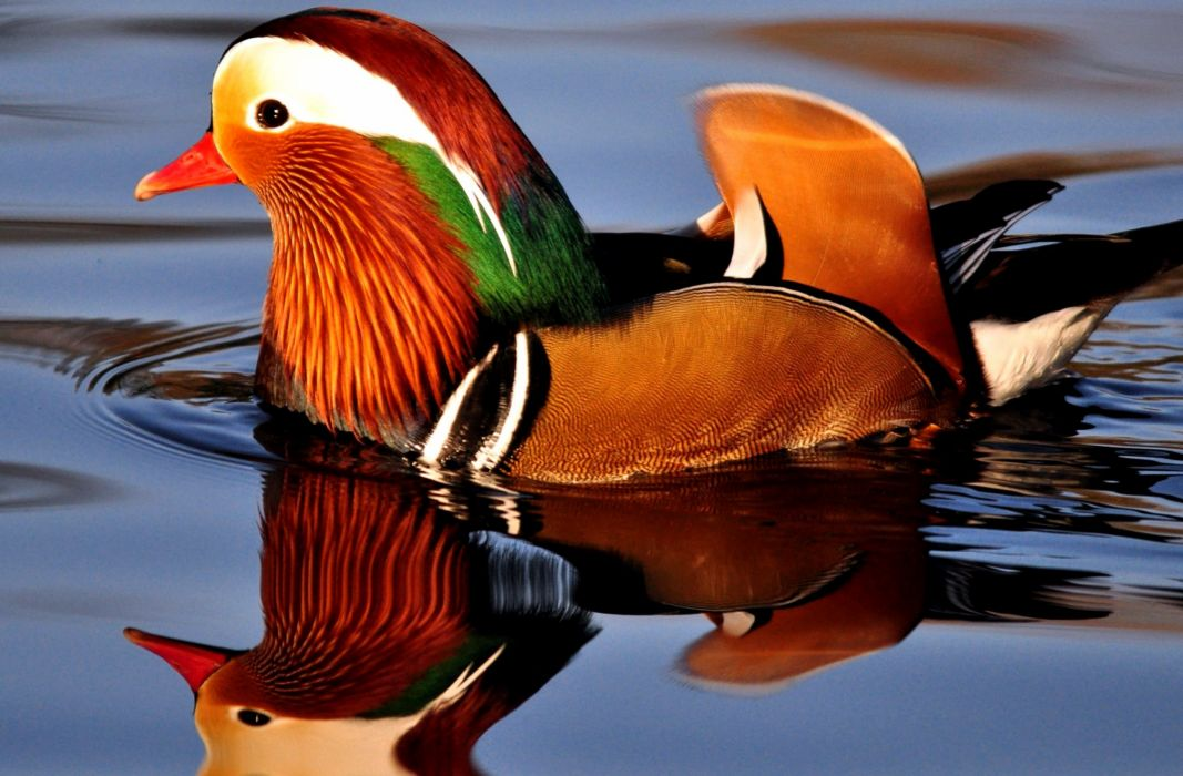 MANDARIN DUCK bird ducks (57) wallpaper
