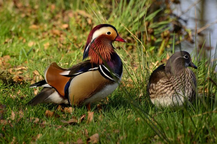 MANDARIN DUCK bird ducks (54)_JPG wallpaper