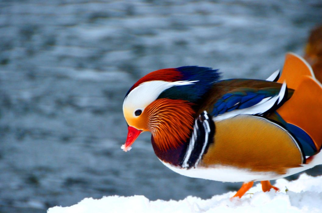 MANDARIN DUCK bird ducks (65) wallpaper