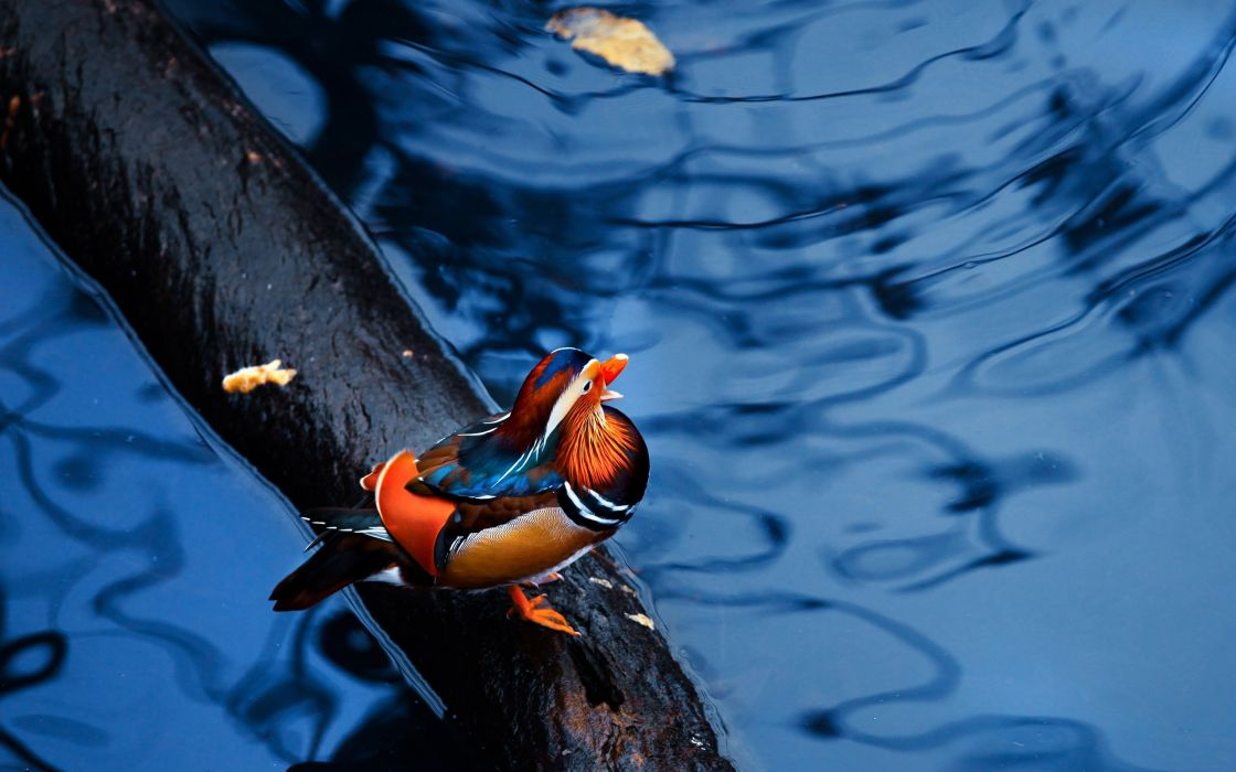 MANDARIN DUCK bird ducks (66) wallpaper