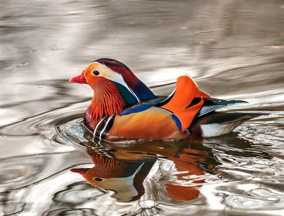 MANDARIN DUCK bird ducks (64) wallpaper