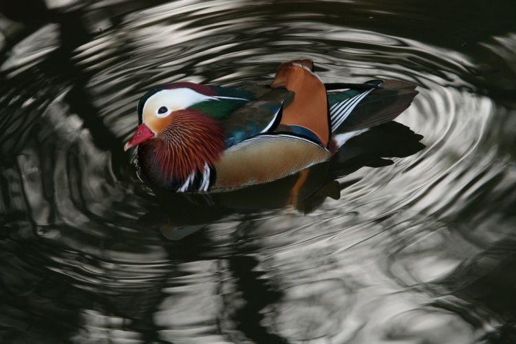 MANDARIN DUCK bird ducks (69) wallpaper
