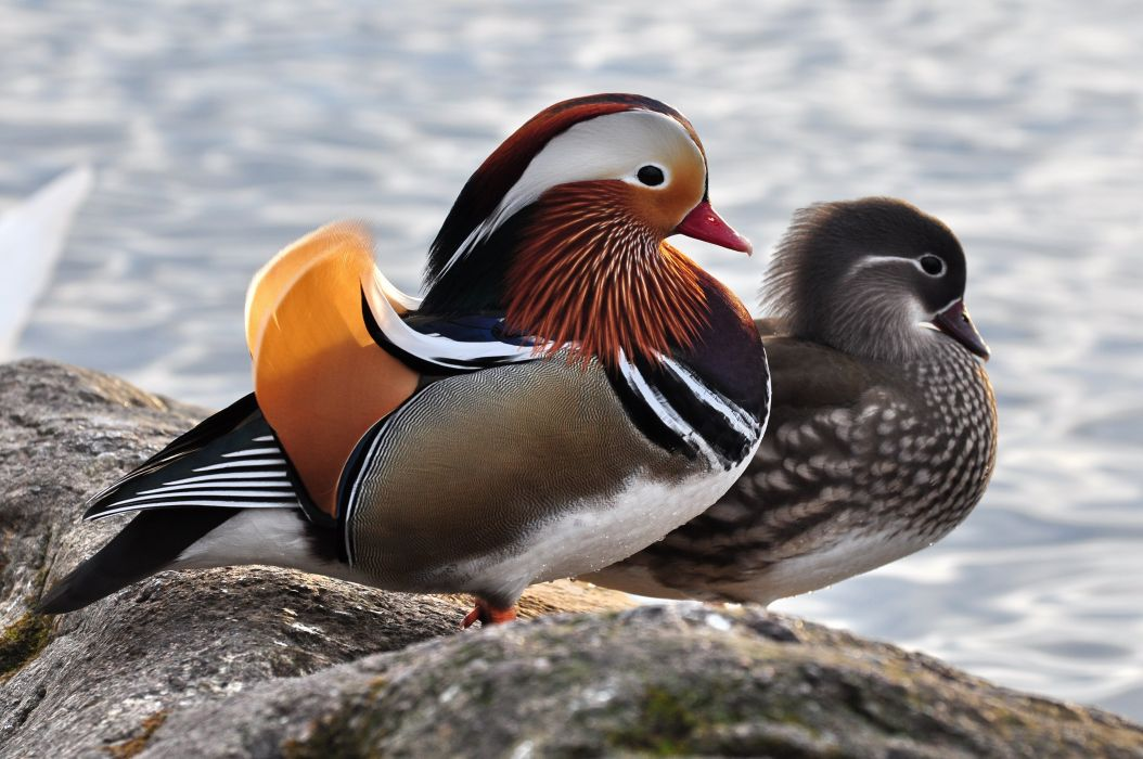 MANDARIN DUCK bird ducks (73)_JPG wallpaper