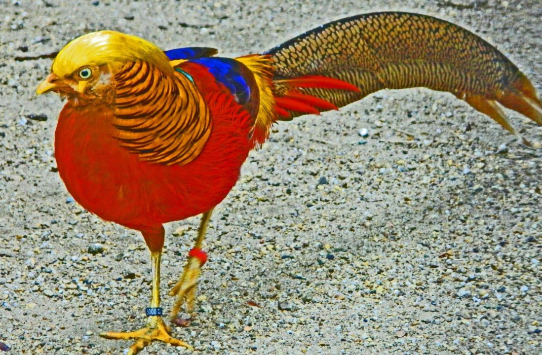 GOLDEN PHEASANT bird colorful gold (8) wallpaper