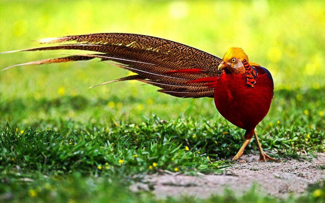 GOLDEN PHEASANT bird colorful gold (6) wallpaper