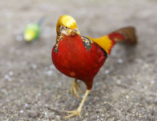 GOLDEN PHEASANT bird colorful gold (9) wallpaper