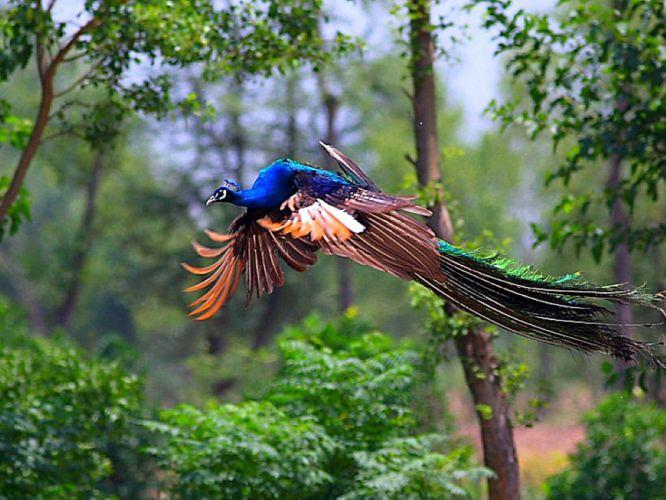 PEACOCK bird colorful (1) wallpaper