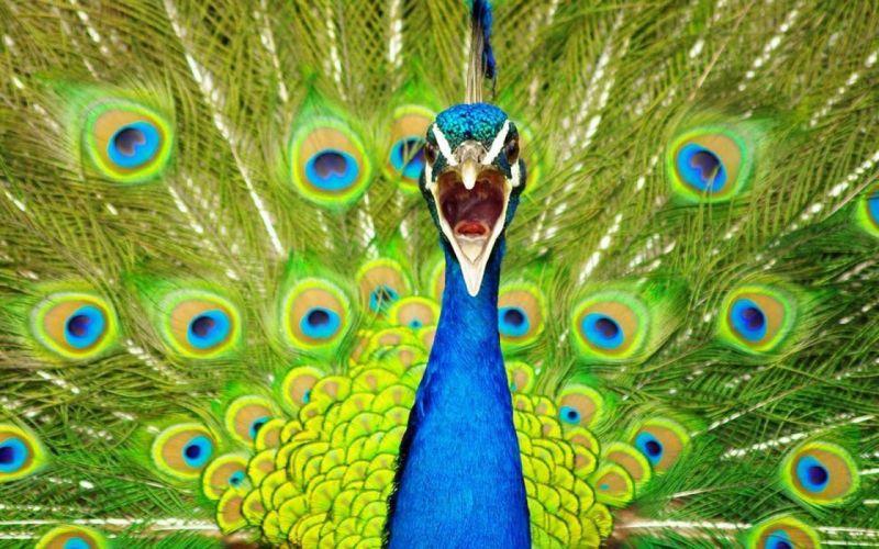 PEACOCK bird colorful (3) wallpaper