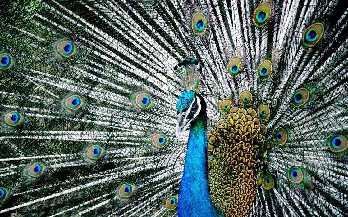 PEACOCK bird colorful (2) wallpaper
