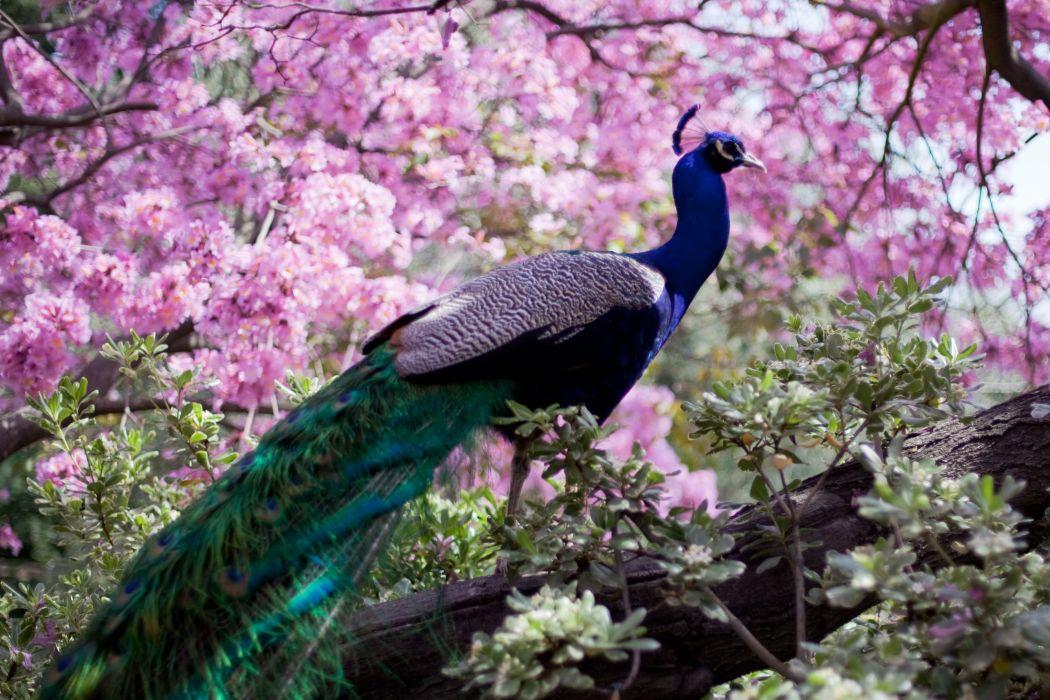 PEACOCK bird colorful (6) wallpaper