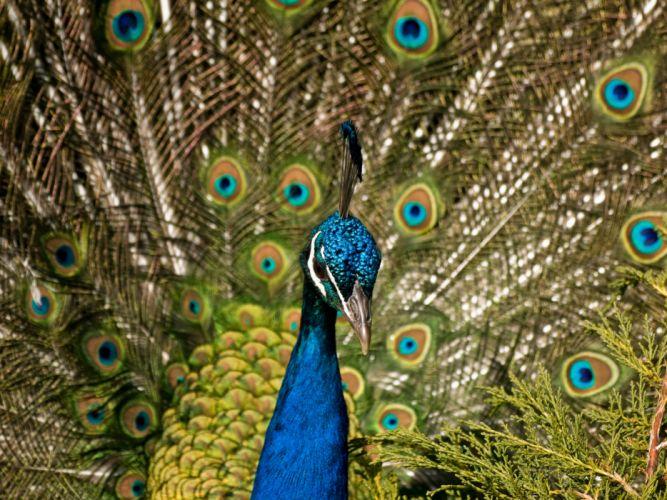 PEACOCK bird colorful (8) wallpaper