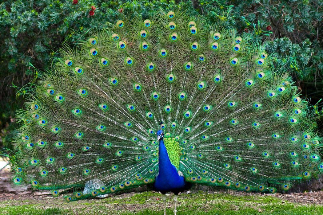 PEACOCK bird colorful (15) wallpaper