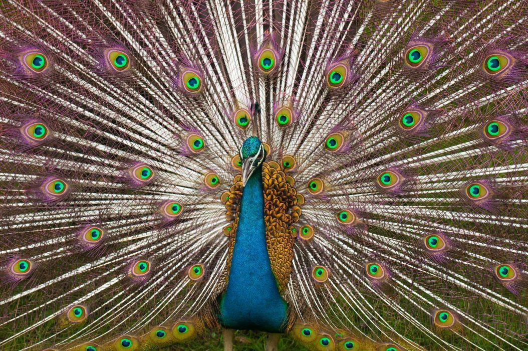 PEACOCK bird colorful (9) wallpaper