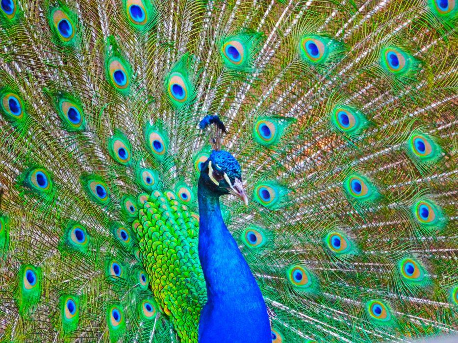 PEACOCK bird colorful (14) wallpaper