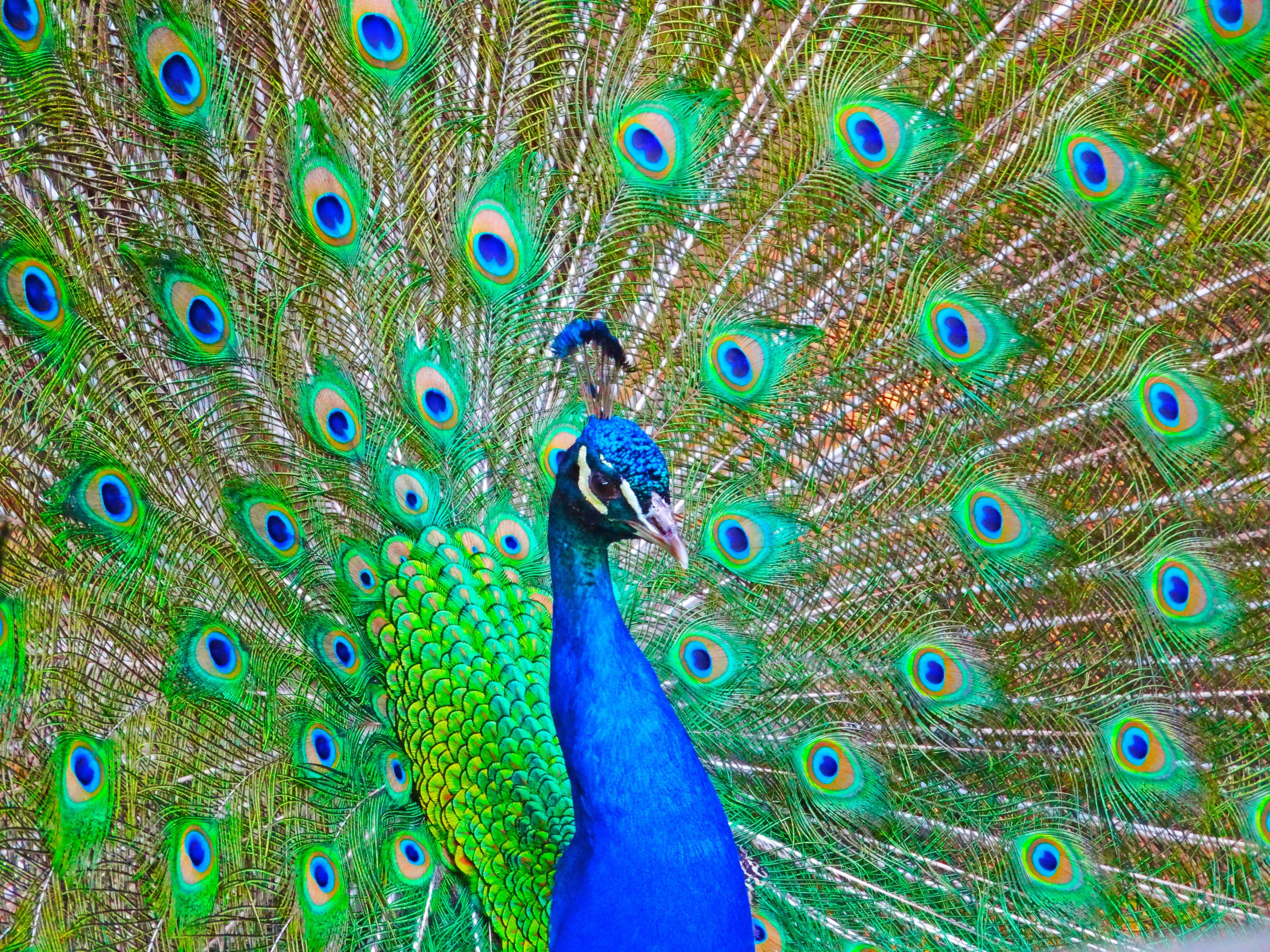 PEACOCK bird colorful (14) wallpaper | 4608x3456 | 363814 ...