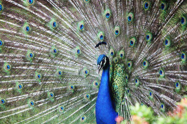 PEACOCK bird colorful (16) wallpaper