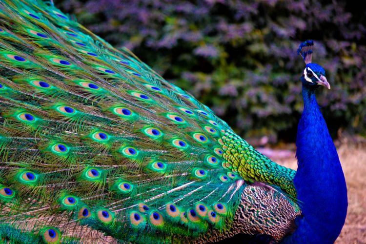PEACOCK bird colorful (28) wallpaper