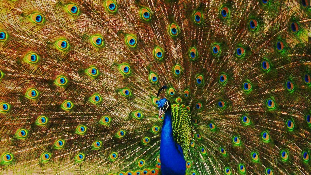 PEACOCK bird colorful (32) wallpaper