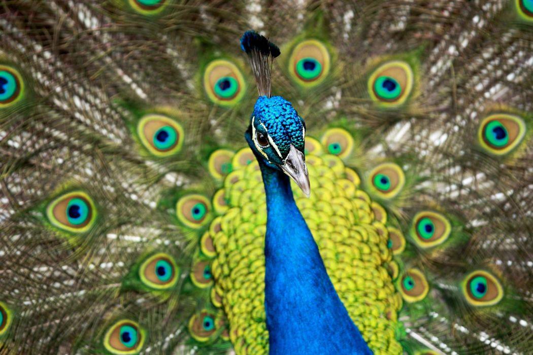 PEACOCK bird colorful (43) wallpaper