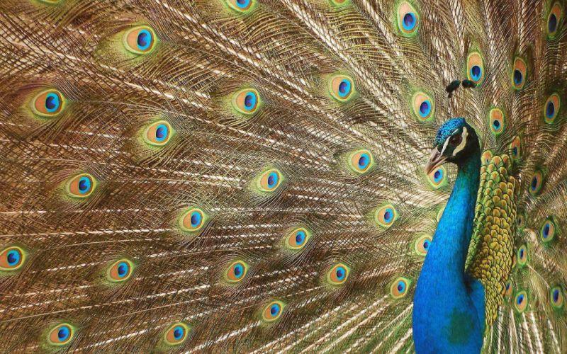 PEACOCK bird colorful (47) wallpaper
