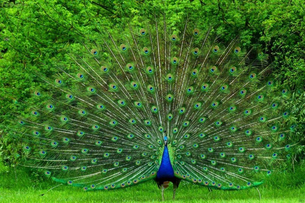 PEACOCK bird colorful (52) wallpaper
