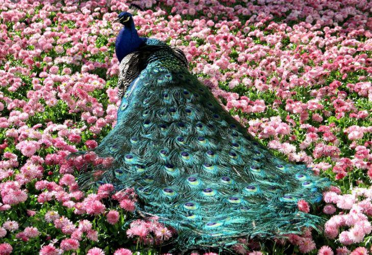 PEACOCK bird colorful (50) wallpaper