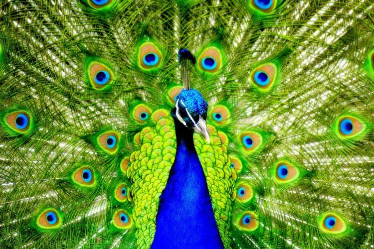 PEACOCK bird colorful (57) wallpaper