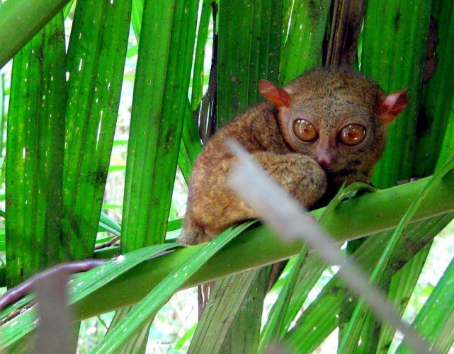 TARSIER monkey primate eyes humor funny cute (2) wallpaper