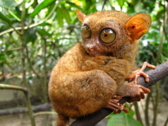 TARSIER monkey primate eyes humor funny cute (3) wallpaper