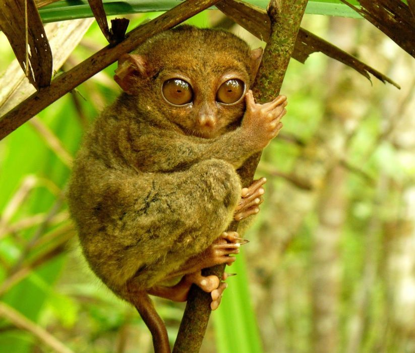TARSIER monkey primate eyes humor funny cute (6) wallpaper