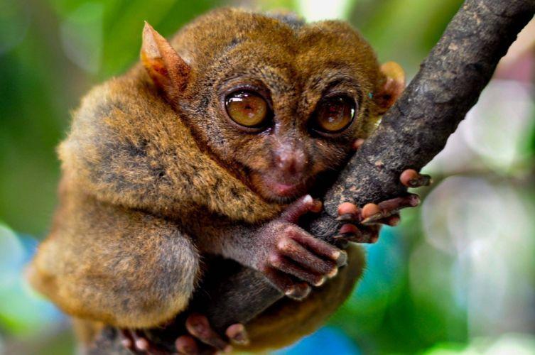 TARSIER monkey primate eyes humor funny cute (7) wallpaper