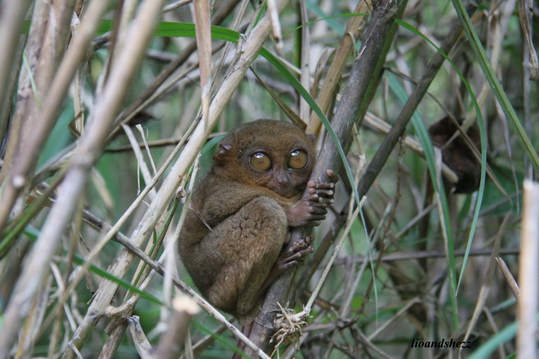 TARSIER monkey primate eyes humor funny cute (14) wallpaper