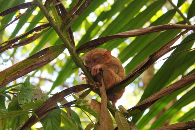 TARSIER monkey primate eyes humor funny cute (17) wallpaper