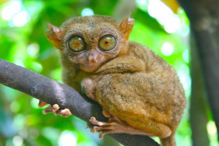 TARSIER monkey primate eyes humor funny cute (22) wallpaper