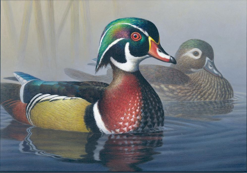 WOOD DUCK bird ducks (1) wallpaper