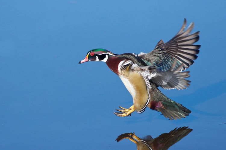 WOOD DUCK bird ducks (3) wallpaper