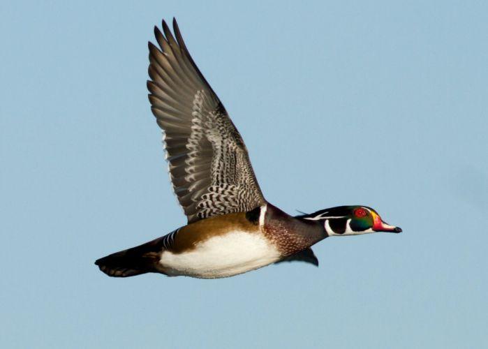 WOOD DUCK bird ducks (10) wallpaper