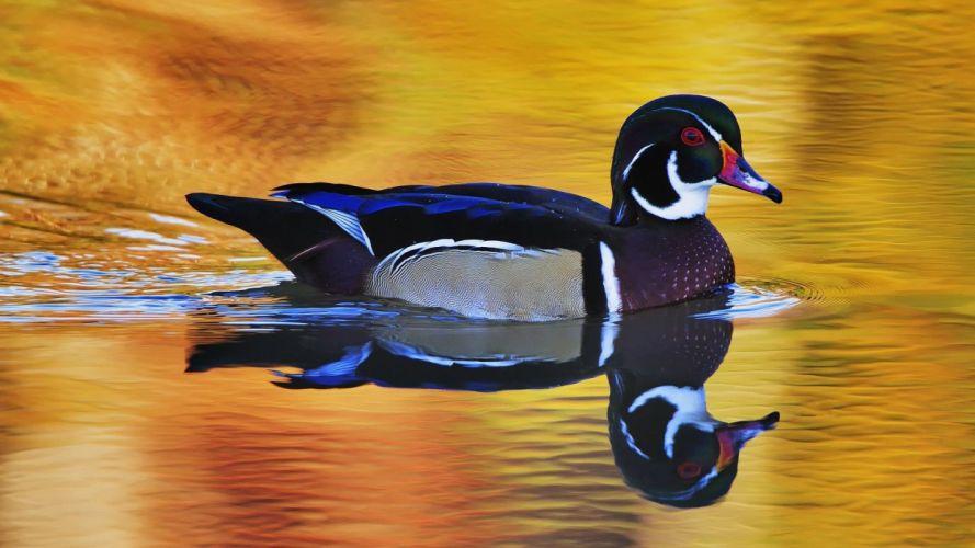 WOOD DUCK bird ducks (19) wallpaper